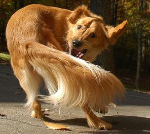 cachorro-rabo